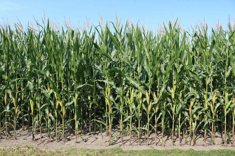 Vier weken extra voor inzaai vanggewas na mais